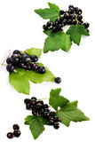 Fresh black currant Stock Image