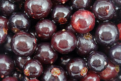 Fresh black currant. Wet and shining Stock Image