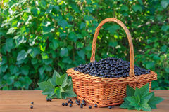Fresh black currant in a basket on wooden table in garden. Fresh black currant, Ribes nigrum, in a vintage basket on wooden table in garden Stock Photo