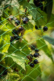 Fresh black currant a protected network Royalty Free Stock Photography