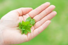 Fresh black currant spring leaves on hand Royalty Free Stock Photo
