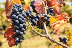 Fresh black grape Royalty Free Stock Image