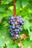Fresh black grapes Stock Photography