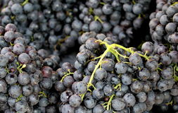 Fresh black grapes Royalty Free Stock Images