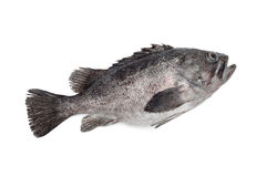 Fresh Black Grouper Royalty Free Stock Image