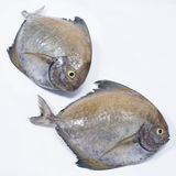 Fresh Black Pomfret Stock Photos