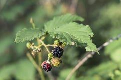 Fresh black ripe blackberries royalty free stock photography