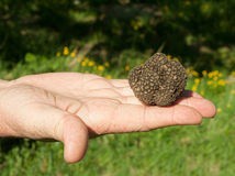 Fresh black truffle in hand Royalty Free Stock Photography
