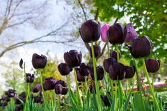 Fresh black tulip with bokeh background. Fresh Spring Composition Royalty Free Stock Images