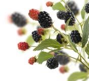 Fresh Blackberries Stock Images