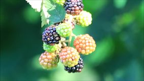 Fresh blackberries on bush stock footage