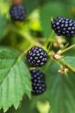 Fresh blackberries on a bush Stock Images