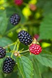 Fresh blackberries on a bush Royalty Free Stock Photography