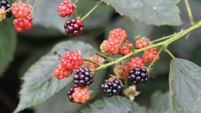 Fresh blackberries on bush stock video footage