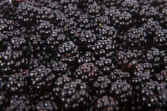 Fresh blackberries from the forest Royalty Free Stock Image
