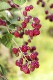 Fresh blackberries in a garden Stock Photography