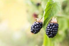 Fresh blackberries growing on bush Royalty Free Stock Images