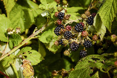 Fresh Blackberries Growing in the WIld Royalty Free Stock Image