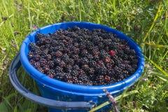Fresh blackberries in plastic bowl on green grass Royalty Free Stock Photo