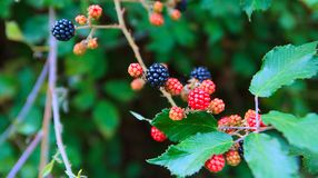 Fresh blackberries, ripe blackberry on a branch in north of morocco. Framboise, berry Royalty Free Stock Photography