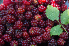 Fresh BlackBerry Background Royalty Free Stock Photos