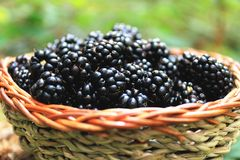 Fresh blackberry basket from the forest. Basket with blackberries from the forest,sweet healthy berrie fruits stock images