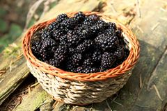 Fresh blackberry basket from the forest. Basket with blackberries from the forest,sweet healthy berrie fruits Royalty Free Stock Photos