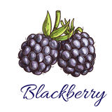 Fresh blackberry fruit sketch for food design. Fresh blackberry fruit sketch. Summer ripe black berries with green curly stem. Vegetarian dessert, juice stock illustration