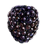 Fresh blackberry isolated on white, watercolor illustration Stock Images