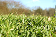 Fresh blades of grass Royalty Free Stock Photo