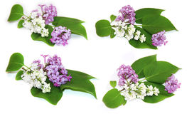 Fresh bloom white and purple lilac perspective, fresh delicate f Stock Images