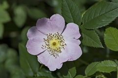 Fresh bloom of wild rose, brier or Rosa canina flower in the garden. Sofia, Bulgaria Stock Photo