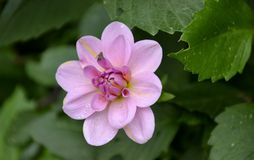 Fresh bloomed dahlia flower Stock Images