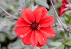 Fresh bloomed dahlia flower Stock Image