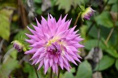 Fresh bloomed dahlia flower Stock Photography