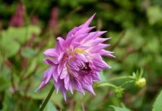 Fresh bloomed dahlia flower Royalty Free Stock Photo