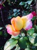 Fresh bloomed stock photo