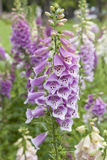 Fresh blooming digitalis Royalty Free Stock Photos
