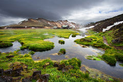 Fresh blooming flowers in Landmannalaugar, Iceland Stock Image