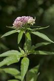 Fresh blooming hemp-agrimony Royalty Free Stock Photos