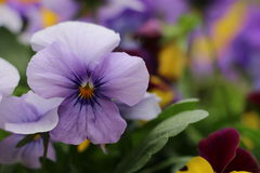 Fresh blooming Pansies in the garden Stock Photo
