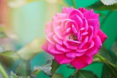 Fresh Blooming Pink Rose