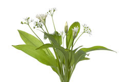 Fresh blooming Ramson. On white background Stock Photography