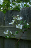 Fresh blooming Raspberry blossoms growing thru fence Stock Images