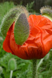 Fresh blooming Red Poppy flower out bud casings Royalty Free Stock Image