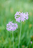 Fresh blooming society garlic Stock Photo