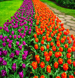 Fresh blooming tulips in the nice spring garden.Keukenhof. Stock Photos