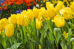 Fresh blooming tulips in the spring garden Royalty Free Stock Photos