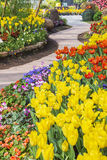 Fresh blooming tulips in the spring garden Royalty Free Stock Image