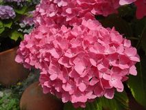 Fresh blossom pink  hydrangea flowers. Abstract of fresh blossom pink  hydrangea flowers Stock Photography